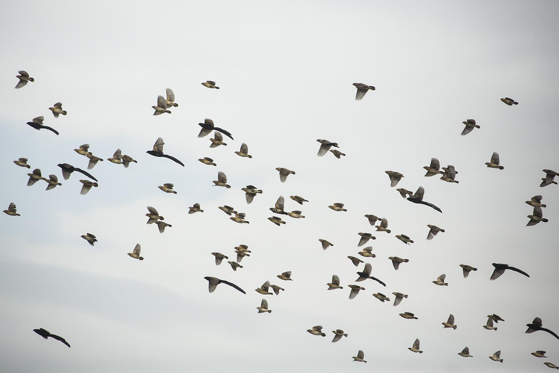 Jacksons Widow birds