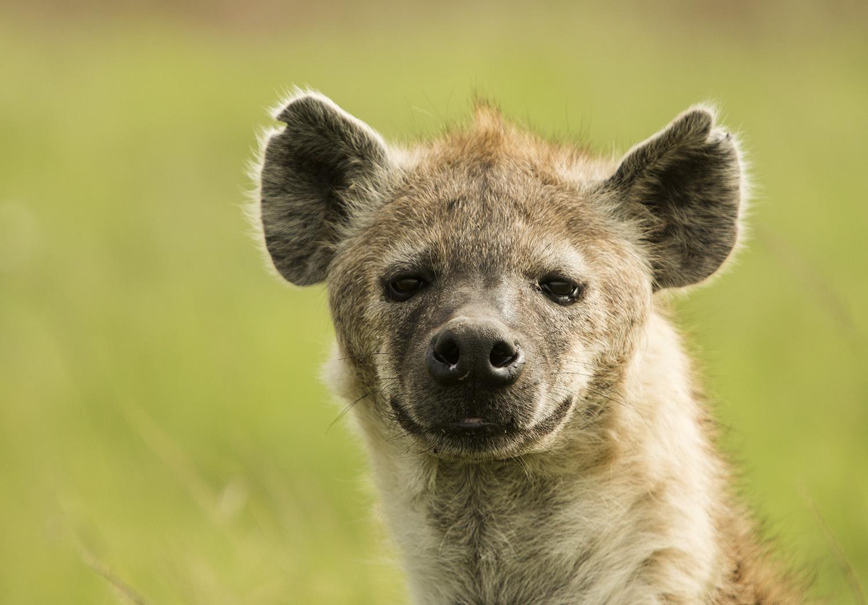 Hyena face