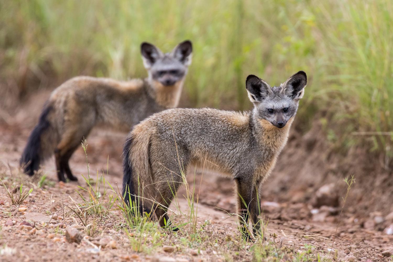 Bat-eared-Foxes