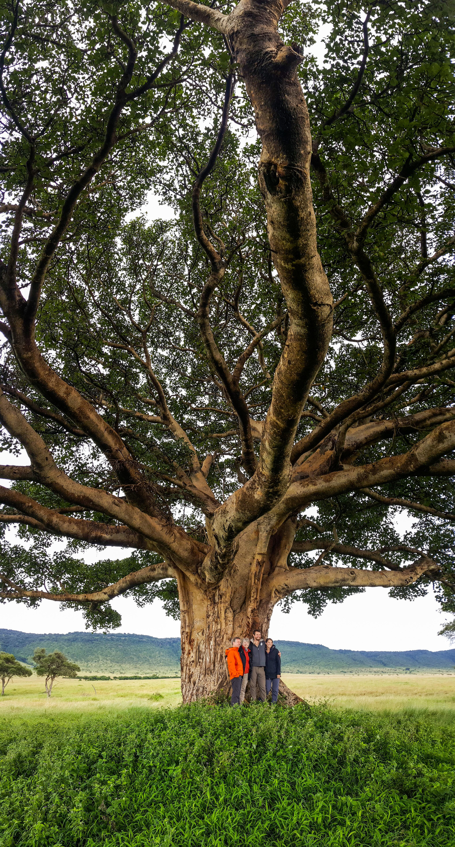 Fig-Tree-Vert-Pano