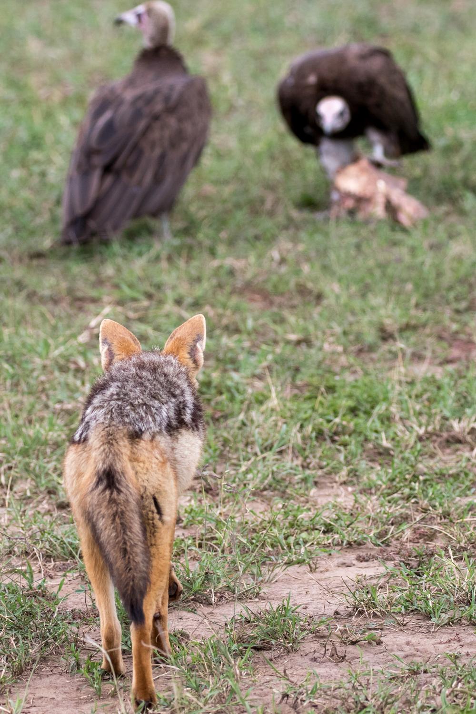 Jackal and Vultures