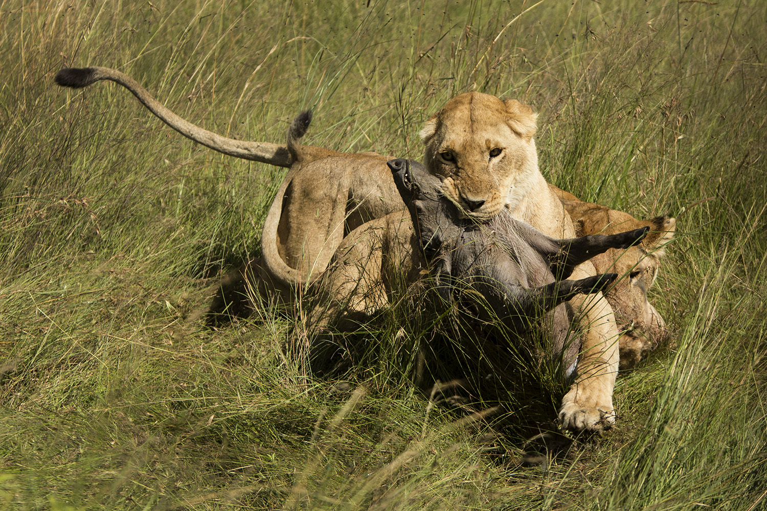 Lioness and warthog fight