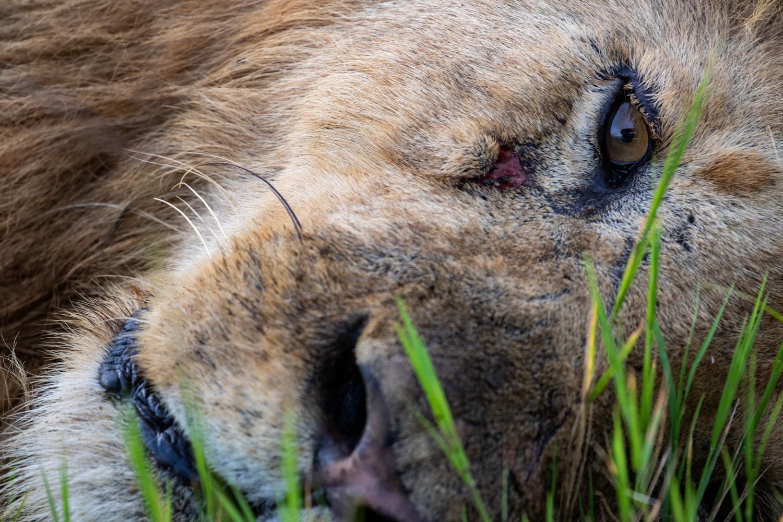 LAZY MALE LION