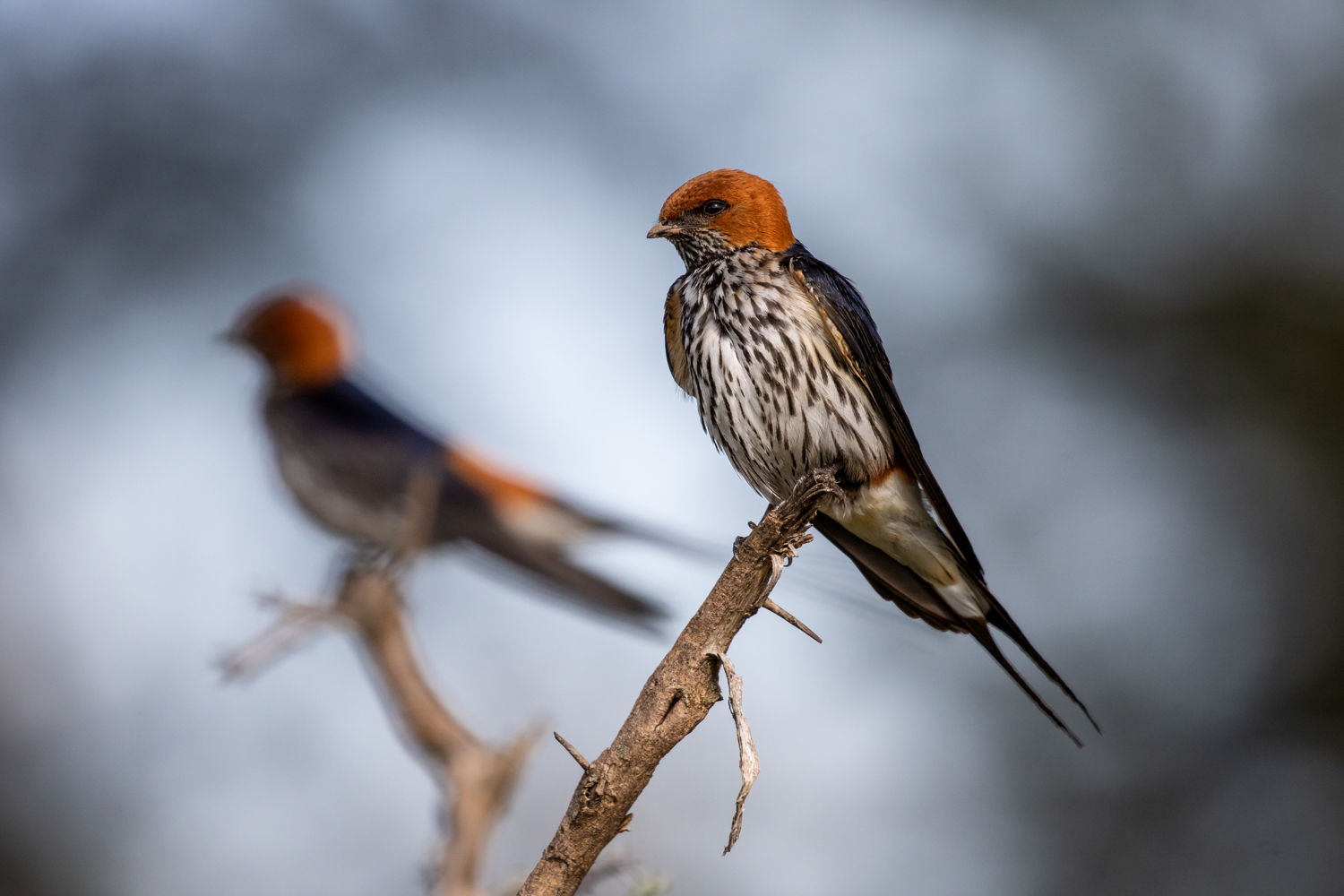 LESSER STRIPED-SWALLOW 03