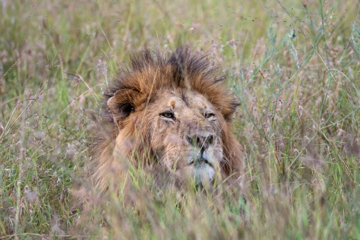 MALE LION IN THE GRASS