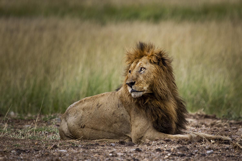 Lion Poze