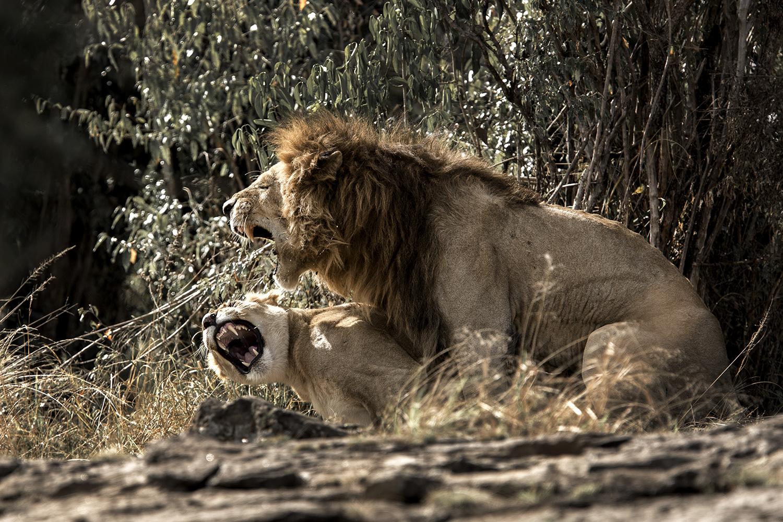 Lions mating Maasai mara kenya