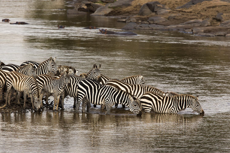 Zebra herd drink