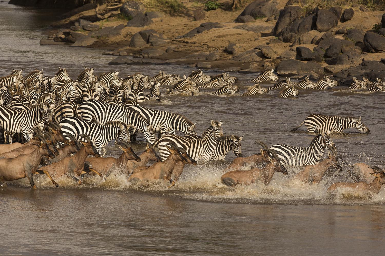 Zebra and topi