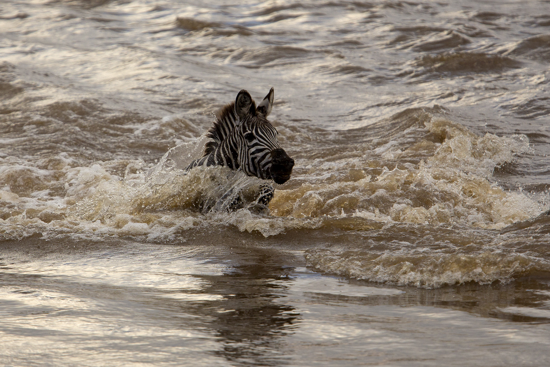 Zebra foal swim