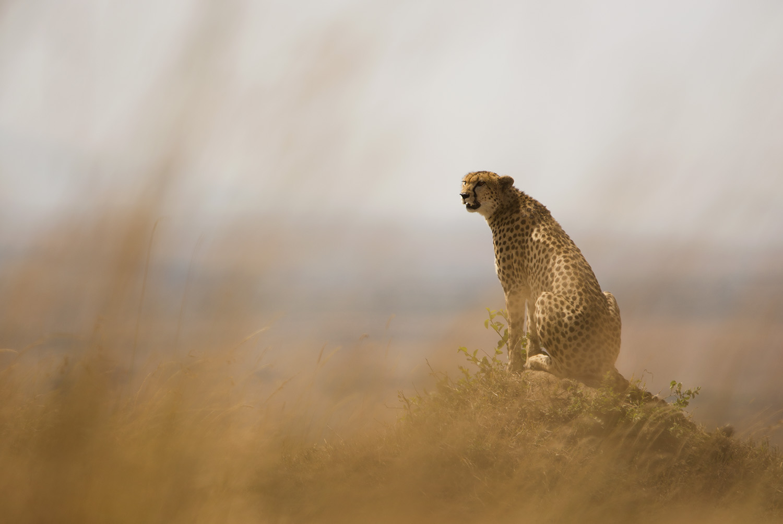 Cheetah and grass