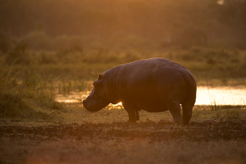 Hippo into sun
