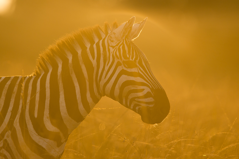 Zebra face side on into light