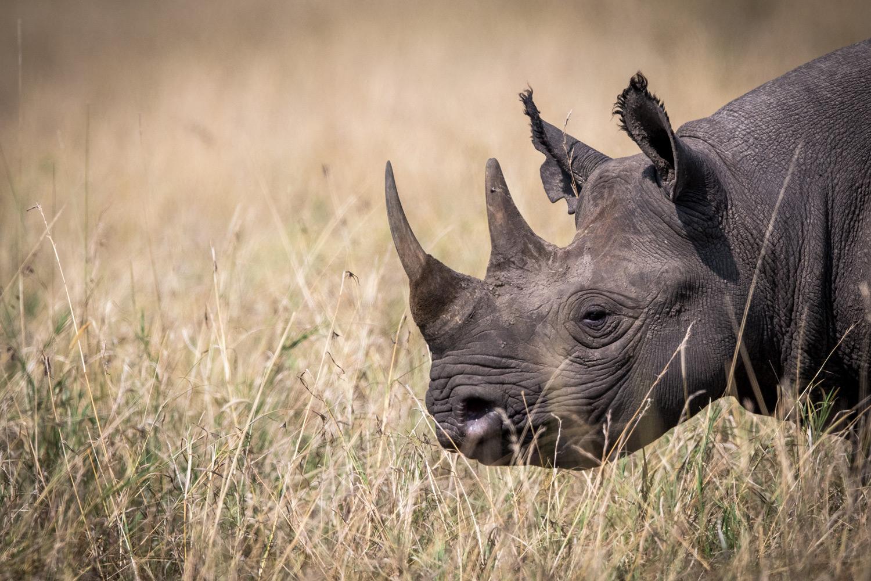 Black Rhino Maasai Mara