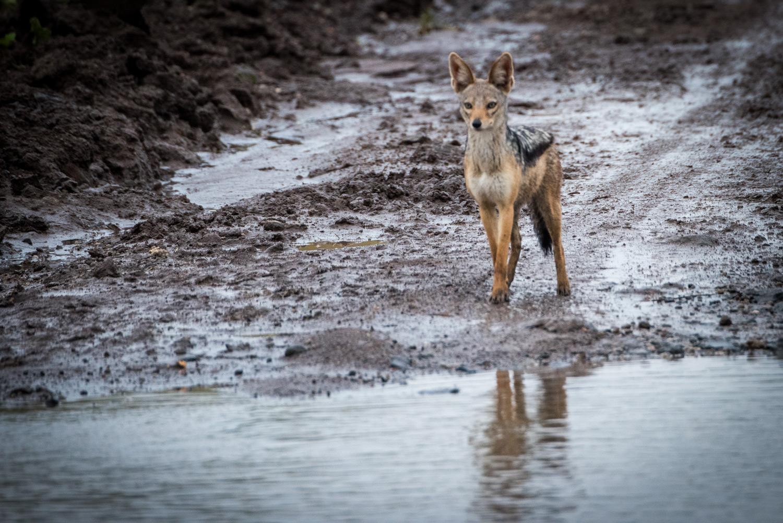 Lone jakal in the rain maasai mara