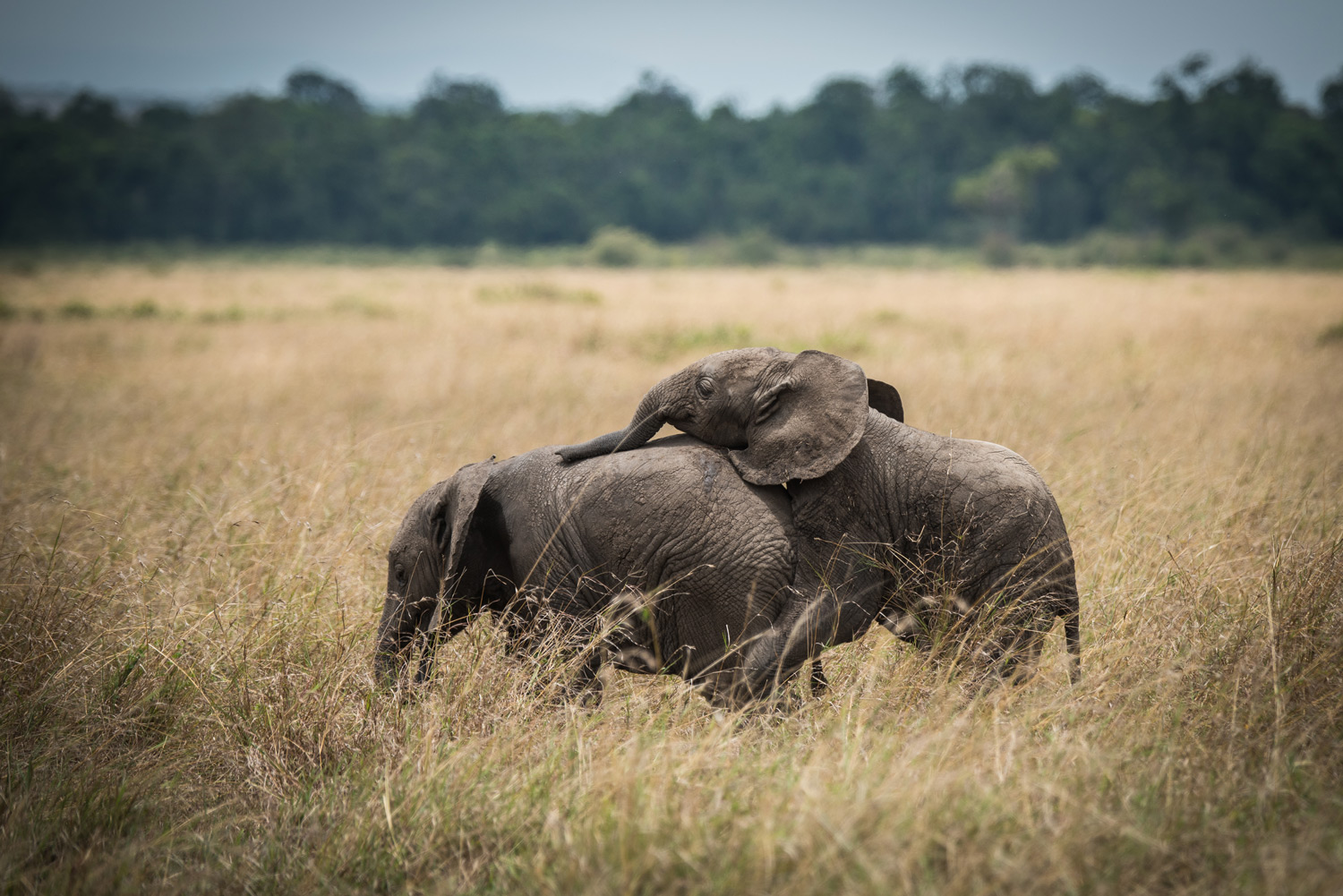 Baby elephants playing with eachother