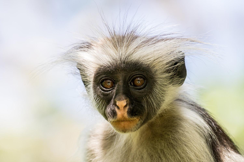 Red Colobus Monkey Zanzibar