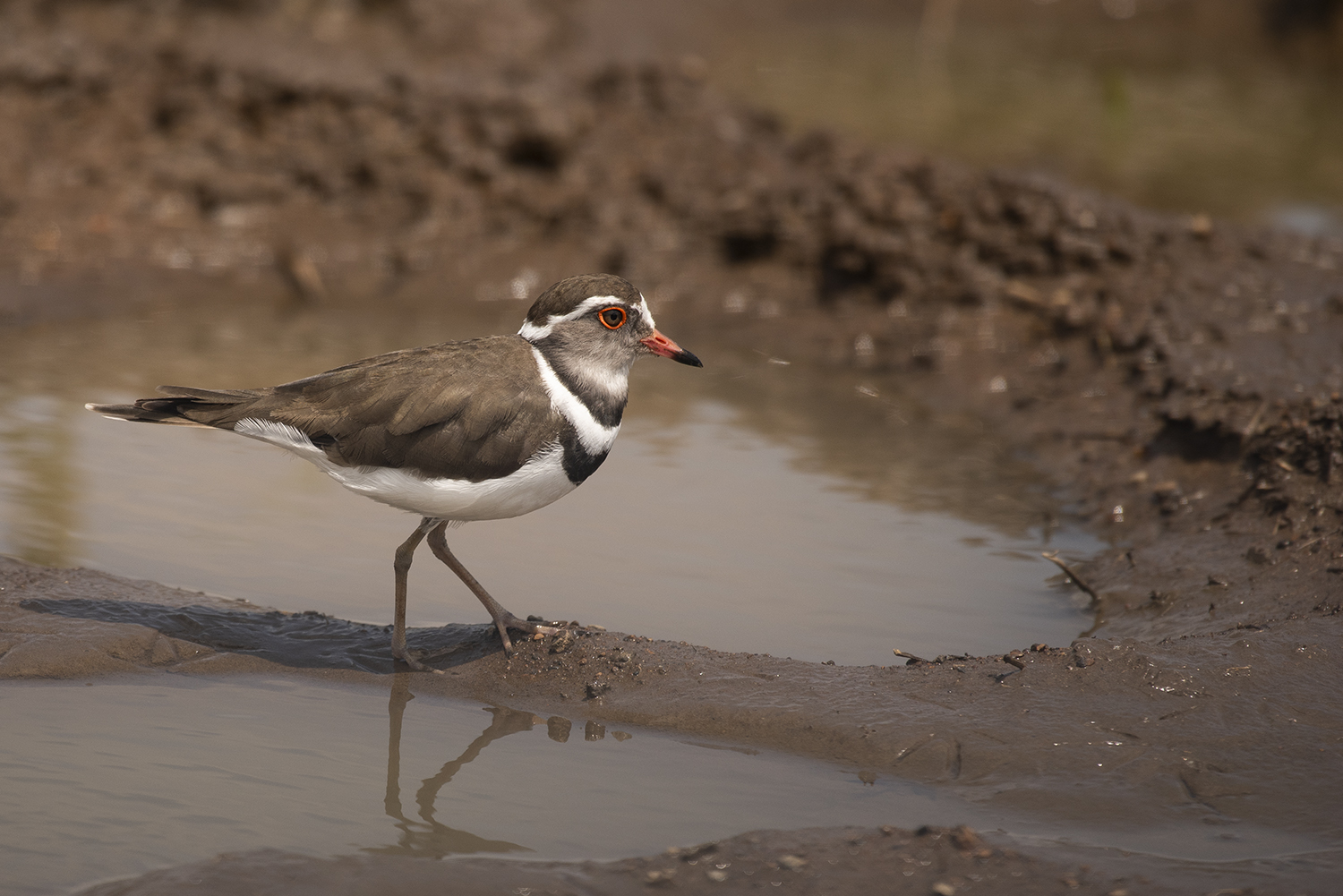 Three banded plover bird