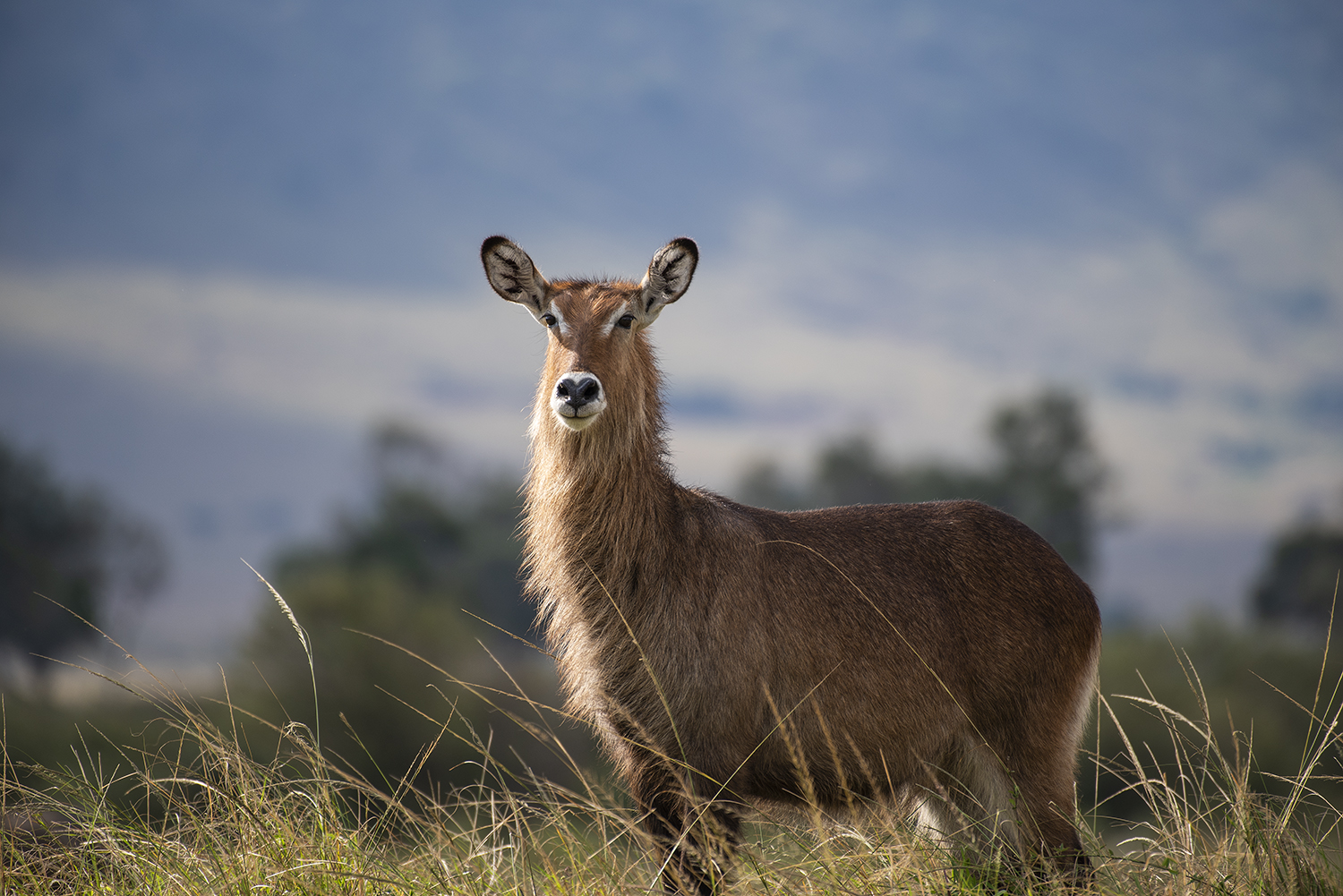 Waterbuck in the mara plains