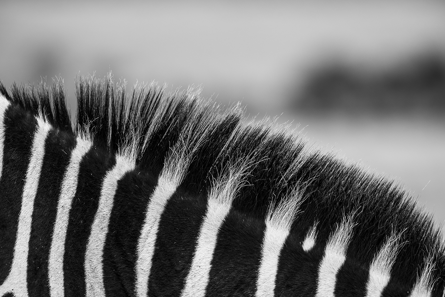 Zebra stripes detailed photography